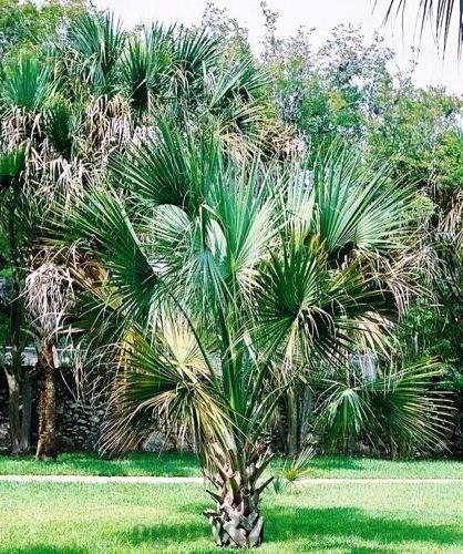 виды пальм 5