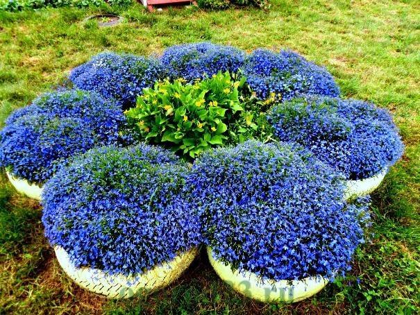 лобелия фото цветов