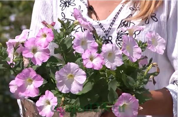 Как вырастить семена петунии в домашних условиях 33