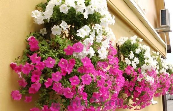 Как правильно осуществлять ампельное выращивание петунии в 42
