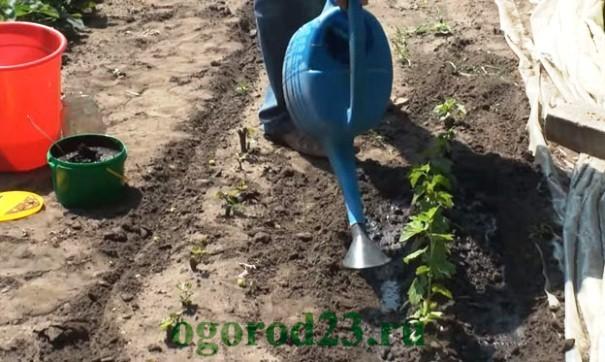 картофельные очистки как удобрение, для каких растений 3
