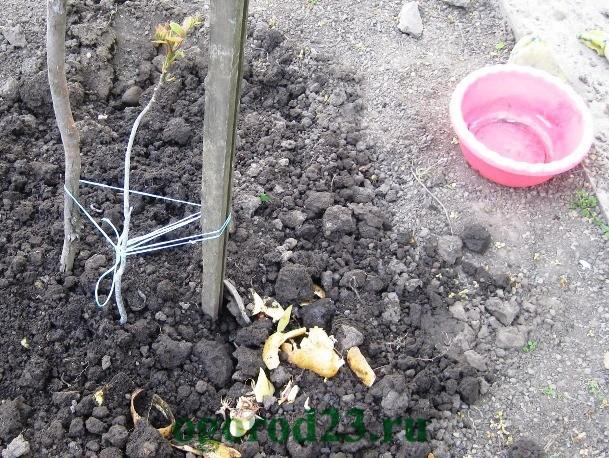 картофельные очистки как удобрение, для каких растений 4