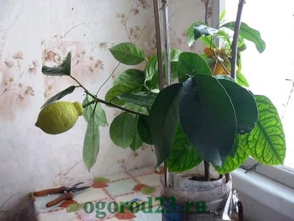 лимонное дерево уход в домашних условиях 3