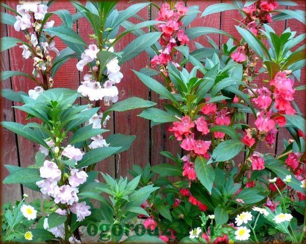 Однолетние цветы, цветущие все лето без рассады - название и фото 19