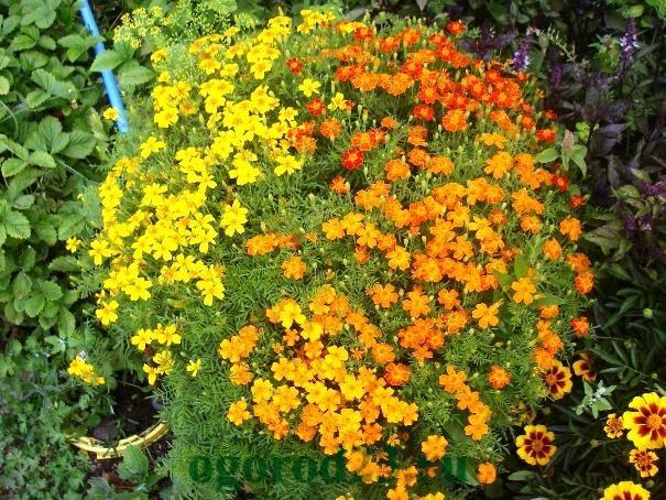Однолетние цветы, цветущие все лето без рассады - название и фото 1
