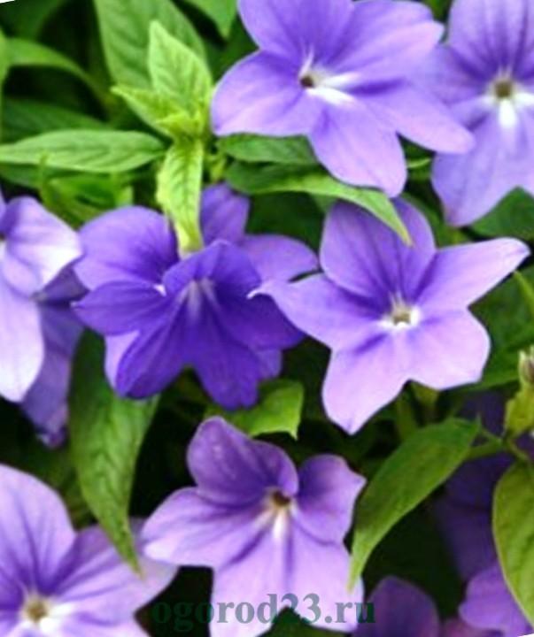 Однолетние цветы, цветущие все лето без рассады - название и фото 36