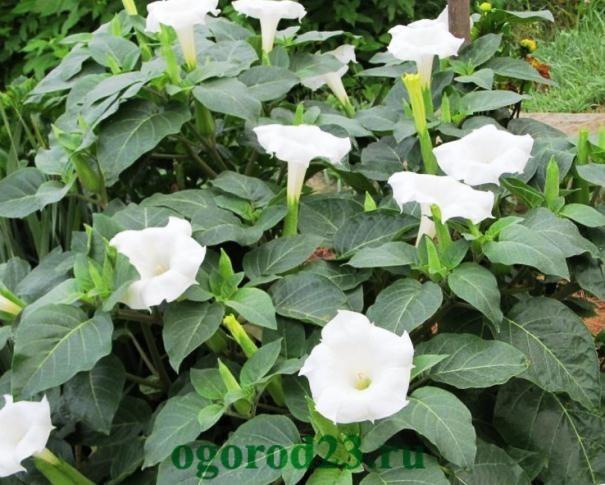 Однолетние цветы, цветущие все лето без рассады - название и фото 20