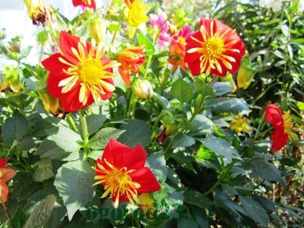 Однолетние цветы, цветущие все лето без рассады - название и фото 17