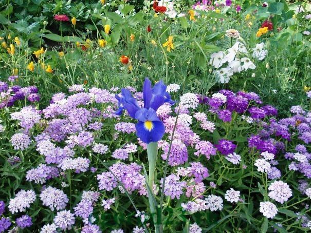 Однолетние цветы, цветущие все лето без рассады - название и фото 25