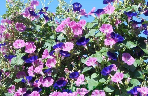 Однолетние цветы, цветущие все лето без рассады - название и фото 27