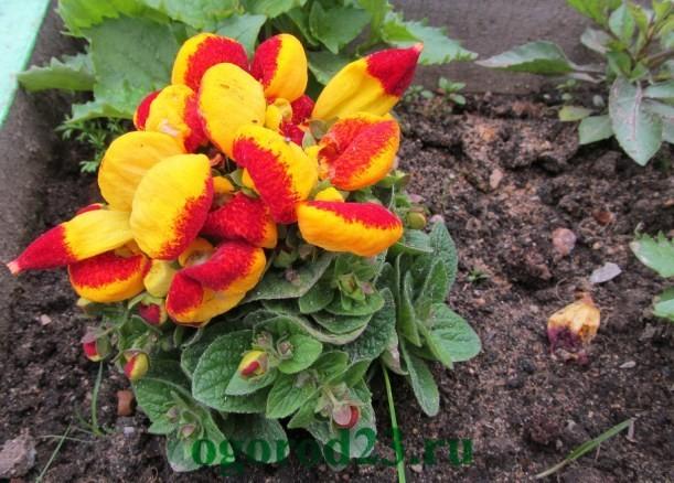 Однолетние цветы, цветущие все лето без рассады - название и фото 10