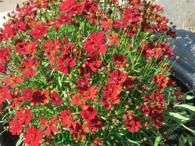 Фото однолетних цветов которые цветут всё лето 65