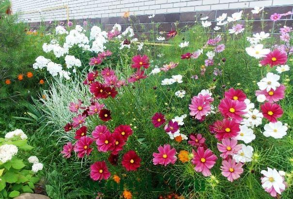 Однолетние цветы, цветущие все лето без рассады - название и фото 26
