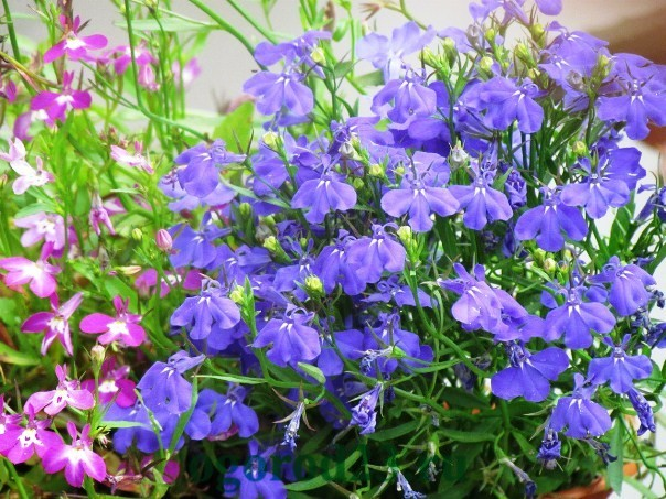 Однолетние цветы, цветущие все лето без рассады - название и фото 12