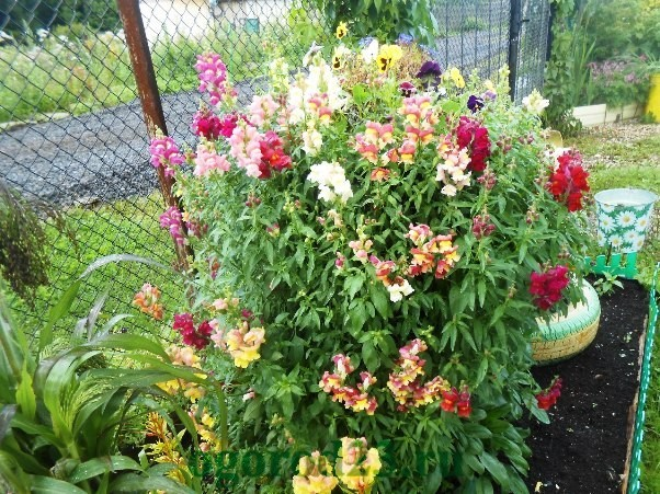 Фото однолетних цветов которые цветут всё лето 27