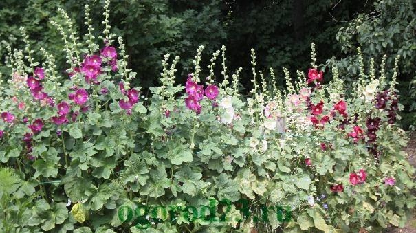 Однолетние цветы, цветущие все лето без рассады - название и фото 21