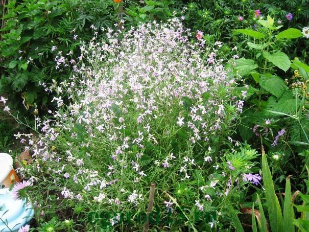 Однолетние цветы, цветущие все лето без рассады - название и фото 18