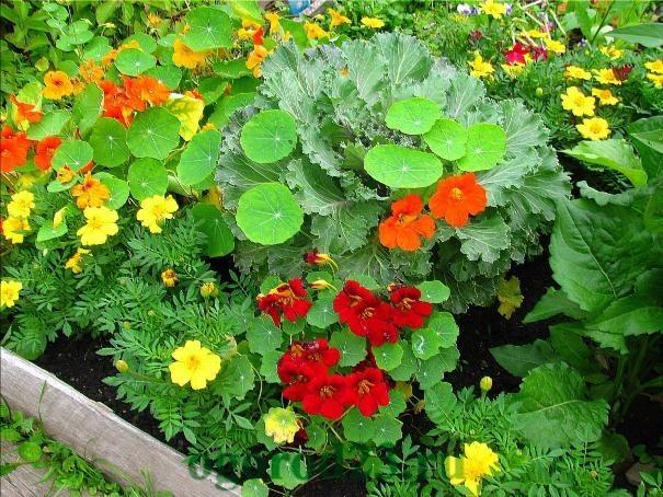 Однолетние цветы, цветущие все лето без рассады - название и фото 6