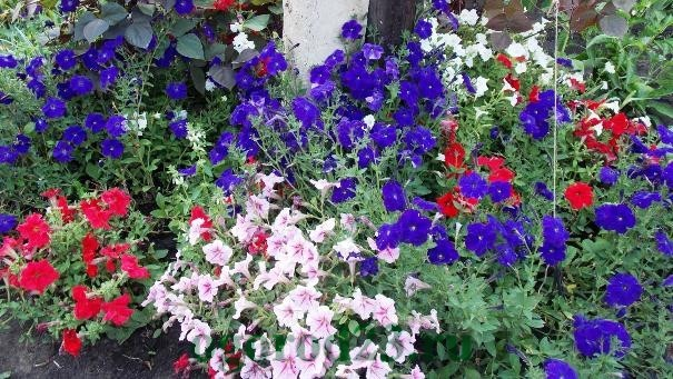 Фото однолетних цветов которые цветут всё лето 80