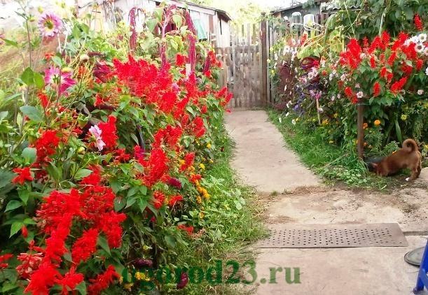 Однолетние цветы, цветущие все лето без рассады - название и фото 3