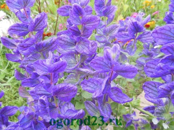 Однолетние цветы, цветущие все лето без рассады - название и фото 4