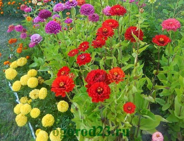 Однолетние цветы, цветущие все лето без рассады - название и фото 8