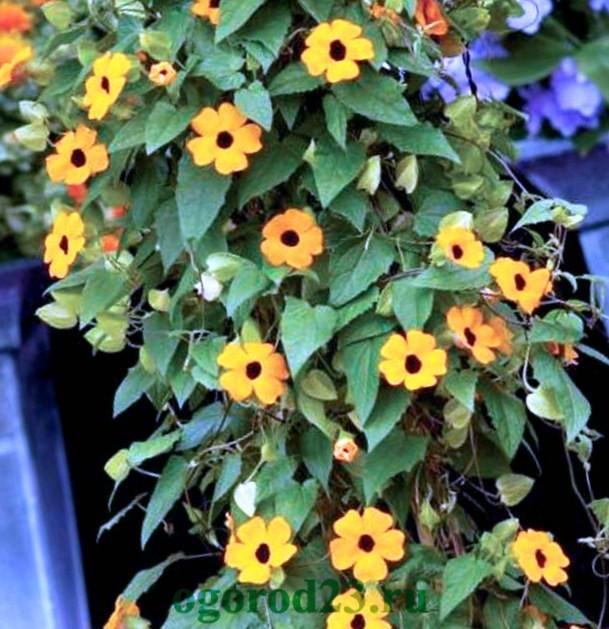 Однолетние цветы, цветущие все лето без рассады - название и фото 29