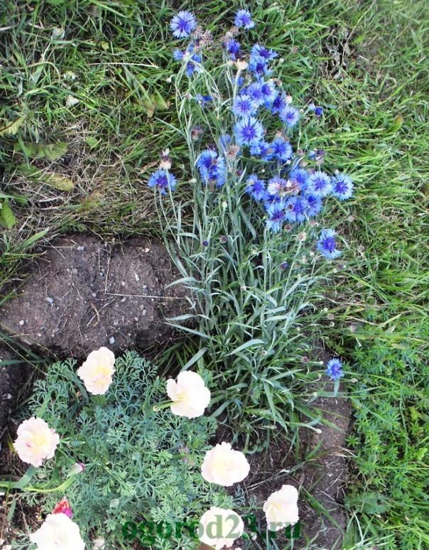 Однолетние цветы, цветущие все лето без рассады - название и фото 22
