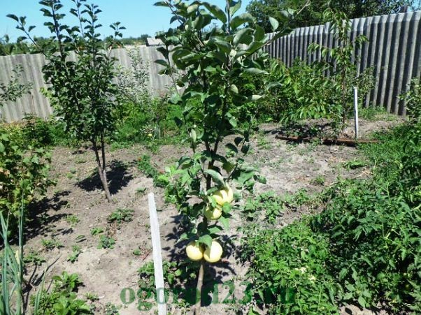 Посадка яблони 8