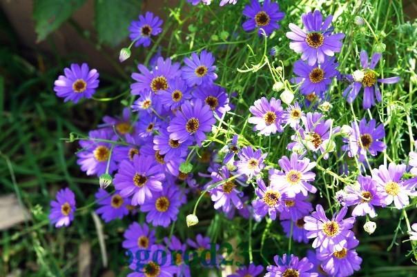 Однолетние цветы, цветущие все лето без рассады - название и фото 16