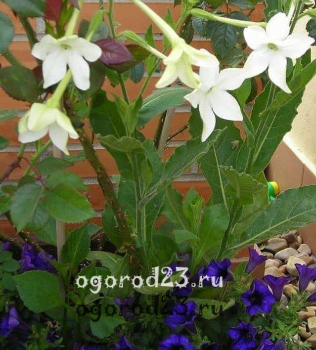 Однолетние цветы цветущие всё лето название и фото 402