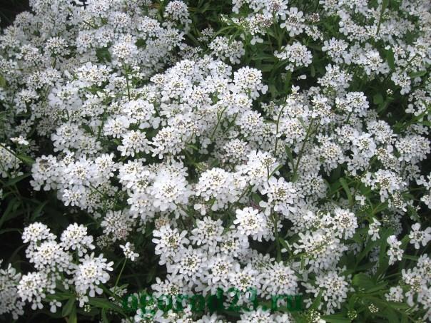 Однолетние цветы, цветущие все лето без рассады - название и фото 24