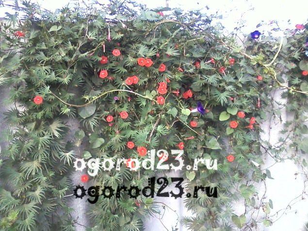 Однолетние цветы цветущие всё лето название и фото 300