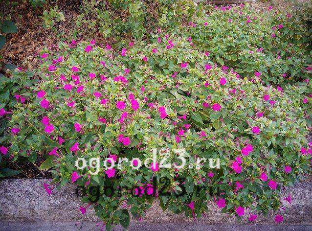Однолетние цветы цветущие всё лето название и фото 401