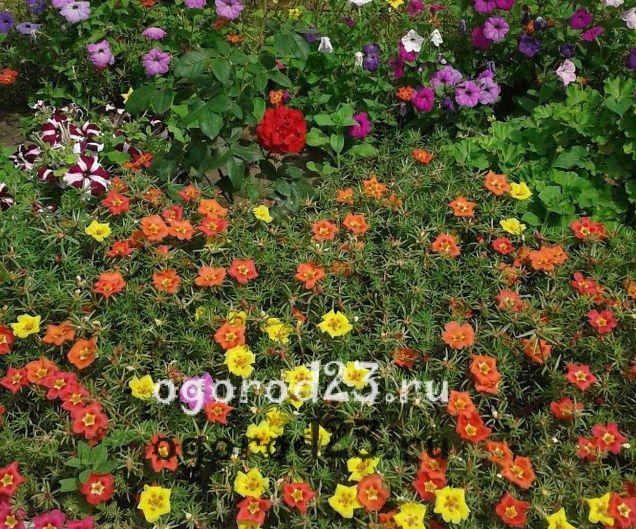 Однолетние цветы цветущие всё лето название и фото 403