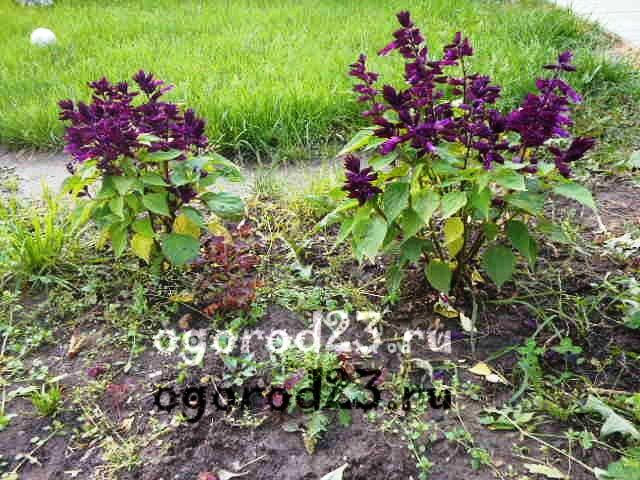 Однолетние цветы, цветущие все лето без рассады - название и фото 140