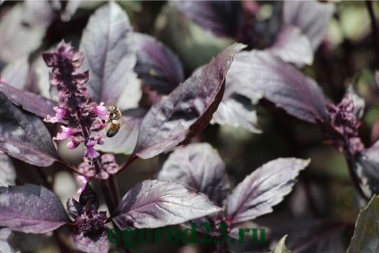 базилик, выращивание из семян 2