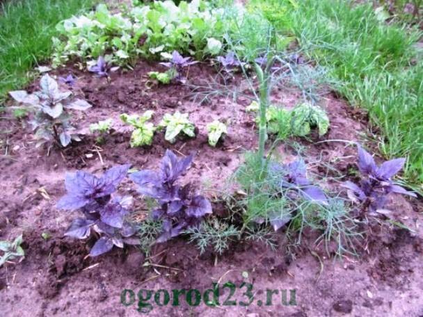 базилик, выращивание из семян 4
