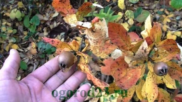 мушмула, полезные свойства и противопоказания 1