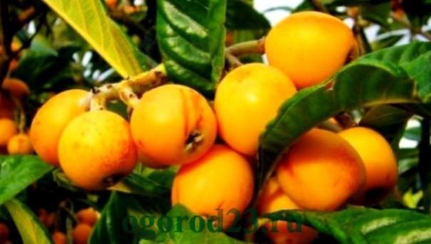 мушмула, полезные свойства и противопоказания 9
