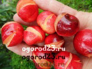 растрескивание плодов черешни