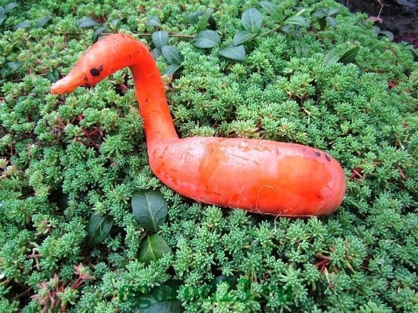 Почему морковь корявая и рогатая 3