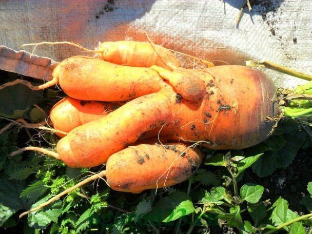 Почему морковь корявая и рогатая