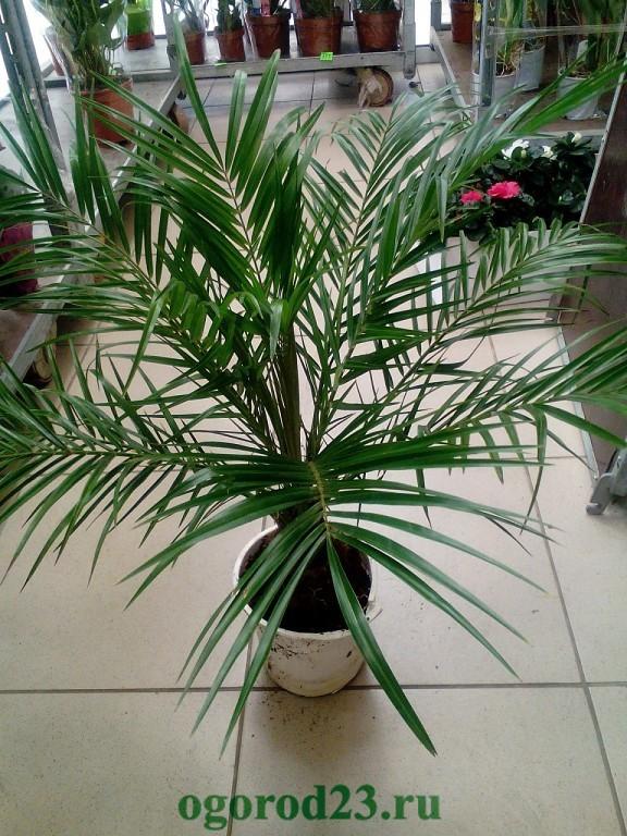 финиковая пальма из косточки в домашних условиях 6