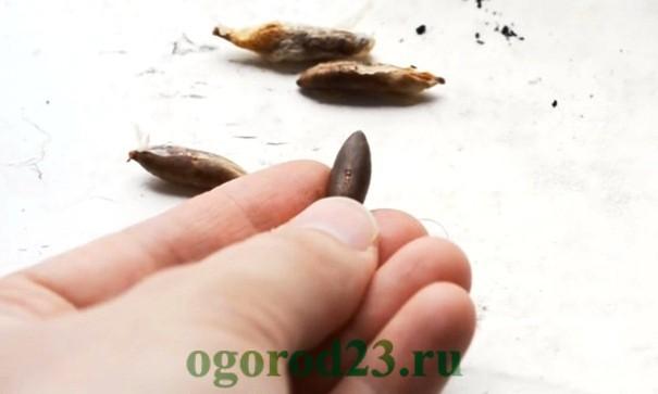 финиковая пальма из косточки в домашних условиях 1