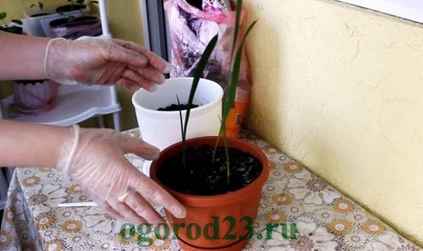 финиковая пальма из косточки в домашних условиях 4