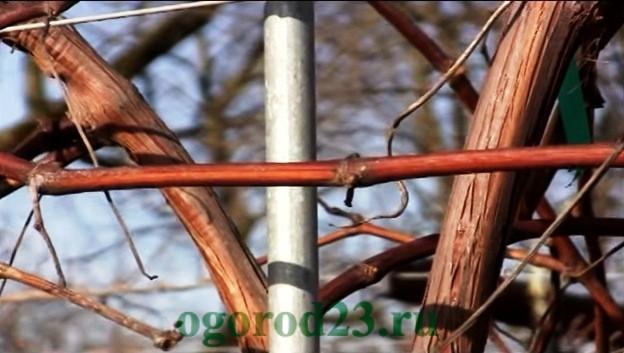 Обрезка винограда осенью для новичков 3