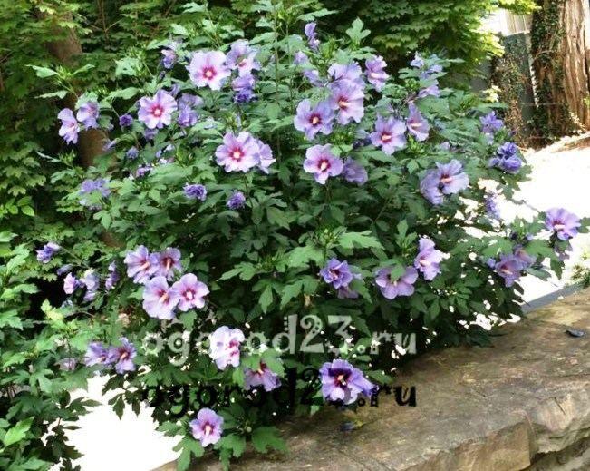 садовый гибискус уход и размножение 18