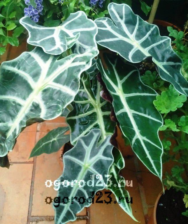 комнатные растения, которые нельзя держать дома – фото и названия 4