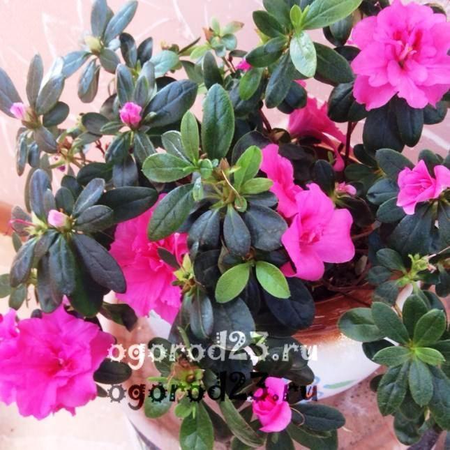 комнатные растения, которые нельзя держать дома – фото и названия 7